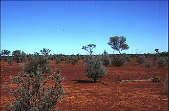 Acacia aneura - Mulga grows as a widely spaced shrub in Southwestern Queensland. The tallest plants are about 2.5m high.
