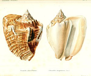 Lobatus costatus - Colored drawings of a shell of Aliger costatus from Kiener, 1843