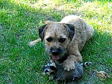 A young male border terrier with a raccoon toy.