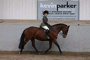 Show hunter (British) - A small hunter horse at a horse show in the UK