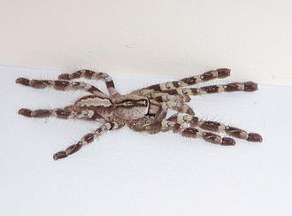 Tarantula - Subadult female Poecilotheria regalis