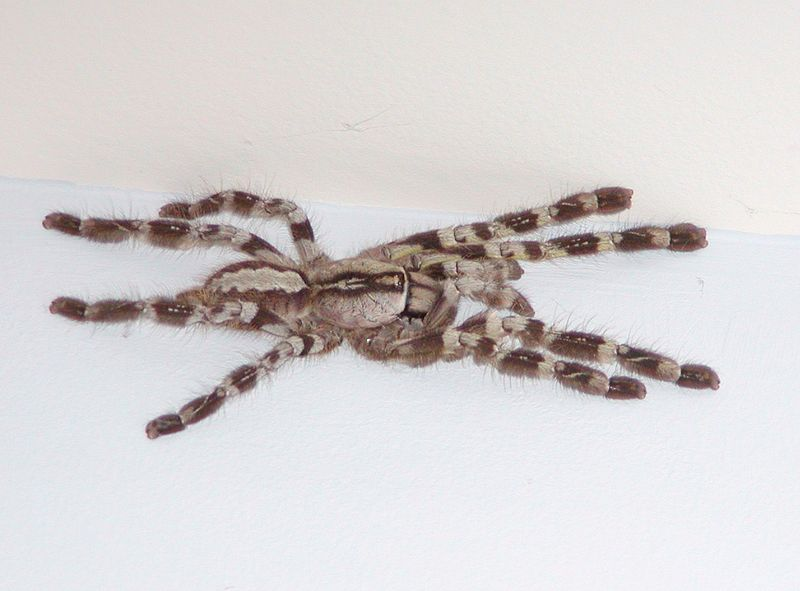 Cute (or not so) pictures 800px-Poecilotheria_Regalis