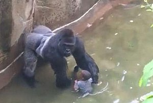 Killing of Harambe - Harambe grabbed and dragged the boy after he fell into the moat; officials feared for the child's life.