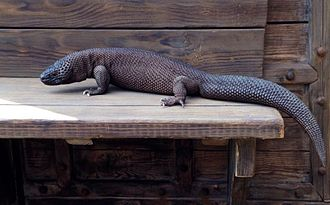 Mexican beaded lizard - The Chiapan beaded lizard tends to be all black, brown, or gray in color.