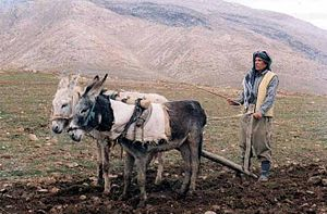 Alqosh - Old farming methods in Alqosh