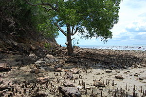 Sedimentary budget - A mangrove can trap sediment with its aerial root structures.