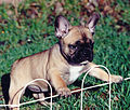 Red Fawn French Bulldog