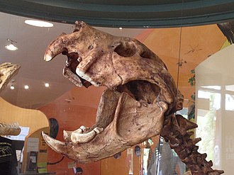 Marsupial lion - Mounted display of Thylacoleo carnifex at the Wonambi Fossil Centre, Naracoorte Caves National Park, South Australia.