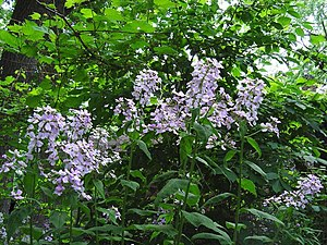 Hesperis matronalis - Stand of dame's rocket in a forested setting