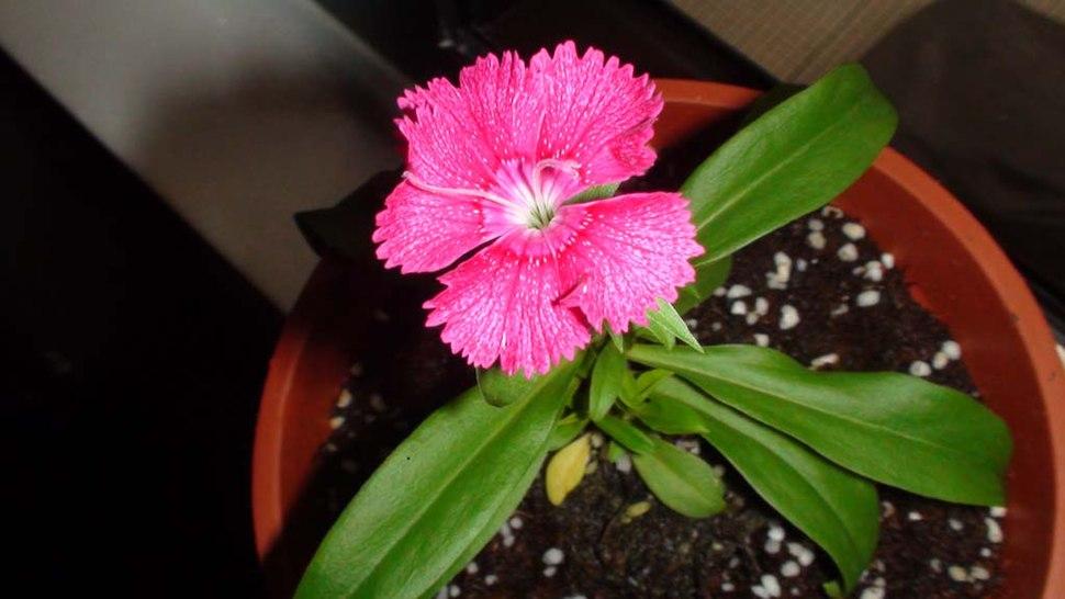 Flower dianthus