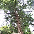 An Eastern Hemlock tree, looking up at the trunk and branches from the ground.
