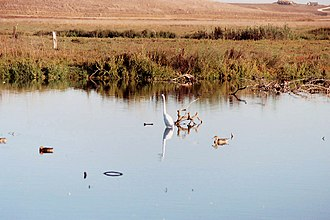 Shoreline Park, Mountain View - Image: Greater egret