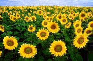 JPEG Sunflowers