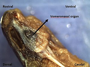 Vomeronasal organ - Sagittal section of the vomeronasal organ of garter snake