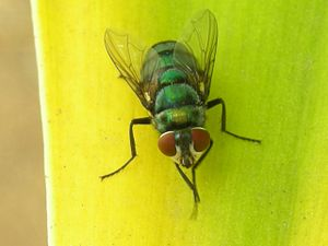 Housefly zoomed