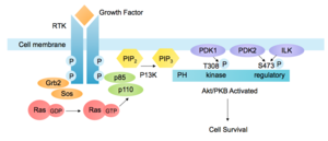 Akt/PKB signaling pathway - Activation of the PI3K-Akt Pathway by a Receptor Tyrosine Kinase