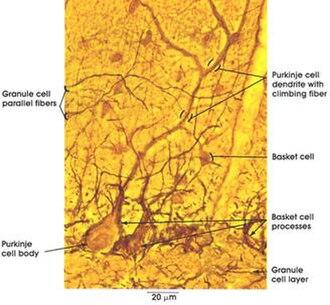 Basket cell - Image: Basket Cell Cerebellum