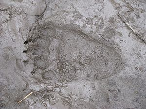 Grizzly rear paw print found on Kvass Trail in...