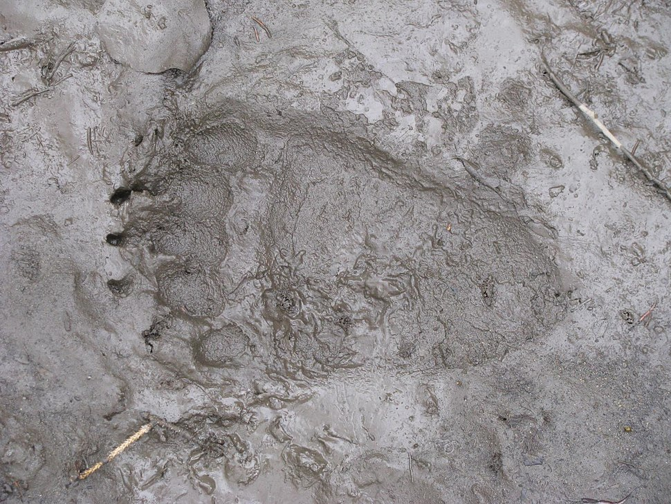 Grizzly rear paw print