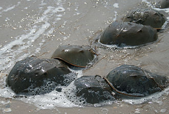 Horseshoe crab - Horseshoe crabs mating