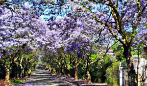 Parktown - Rhodes Avenue. A typical Parktown street with the Jacaranda trees in full bloom