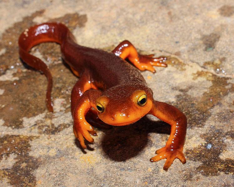 Taricha torosa, a red-orange newt in its terrestrial