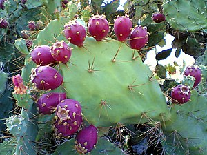 Prickly Pear Cactus a kind of common vegetatio...