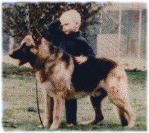 Shiloh Shepherd dog - German Shepherd Dog used as Foundation stock, circa 1978