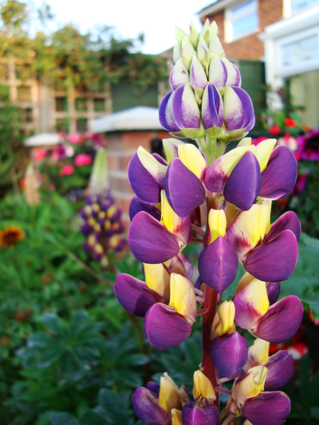 450px-Lupinus_polyphyllus_hybrid.png