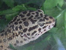 Common leopard gecko - Wikipedia