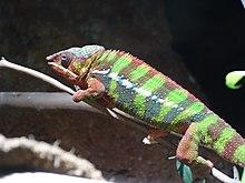 Panther Chameleon Wikipedia