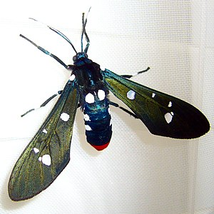 Polka dot wasp moth - 28dec08