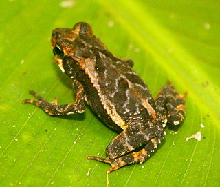 <i>Incilius melanochlorus</i> Species of Central American toad in the family Bufonidae