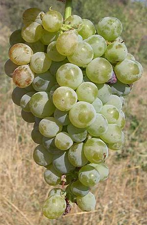 Commandaria - Xynisteri grapes.