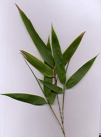 Bamboo foliage with yellow stems (probably Phyllostachys aurea) Bamboo-yellow.jpg