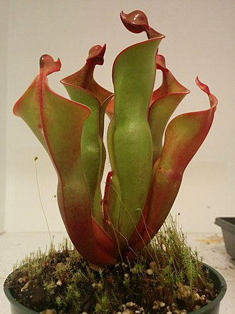 Heliamphora - Heliamphora 'Red Mambo' in cultivation