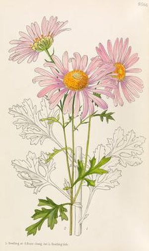 Stella Ross-Craig - Chrysanthemum × rubellum by artists Lilian Snelling and Stella Ross-Craig, published in Curtis's Botanical Magazine in 1939