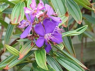 <i>Tibouchina semidecandra</i> species of plant