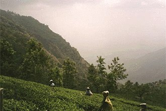 Nilgiri tea - Daily wage laborers plucking Nilgiri Tea at a Tea Garden in Coonoor.