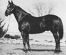 A black-and-white photo of a standing, dark-colored horse in a halter. The horse's body is sideways to the camera, but his head is turned to face the camera. There is a large white marking on his forehead.