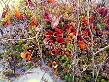 external image 220px-Pitcher_plants_in_the_Linn_Run_bog..jpg
