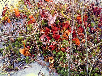 Pitcher plant - Pitcher plants growing in a bog in Pennsylvania