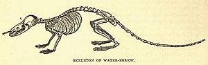 Shrew - Water shrew skeleton