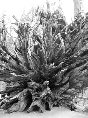 Roots from a fallen redwood at Yosemite National Park.