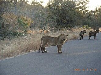 Skukuza - Image: Lions on road 5