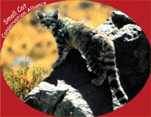 Small Cat Conservation Alliance - Image: Small Cat Conservation Alliance Logo