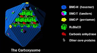Carboxysome - Model for the structure of the carboxysome. RuBisCO and carbonic anhydrase are arranged in an enzymatic core (organized by various core proteins) and encapsulated by a protein shell.