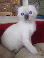 4 Week Old Seal Point Old Style Siamese Thai.