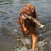 A four-month-old Wire-haired Vizsla retrieving a stick
