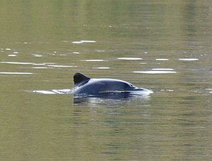 Chilean dolphin - Image: Tonina Chilena 2